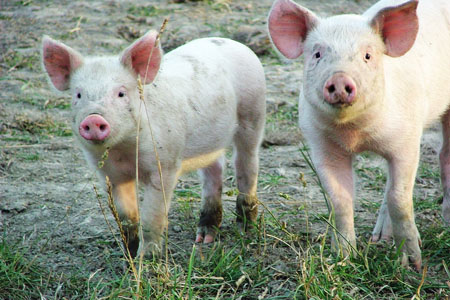 organic free range meat environmental and animal cruelty implications